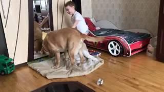 Лабрадор и ребенок делят одеяло