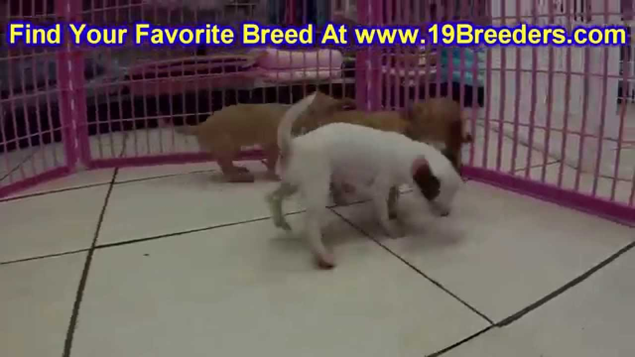 Chihuahua, Puppies, For, Sale, In, Cedar Rapids, Iowa, IA, West Des Moines,  Ames, Council Bluffs, Wa