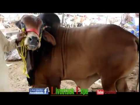 Cow Mandi 2017 | Beopario ki Calls for Video 6