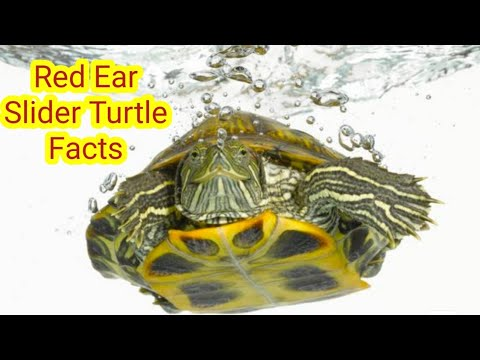 Red Ear Slider Turtle | Facts On Red Eared Turtles