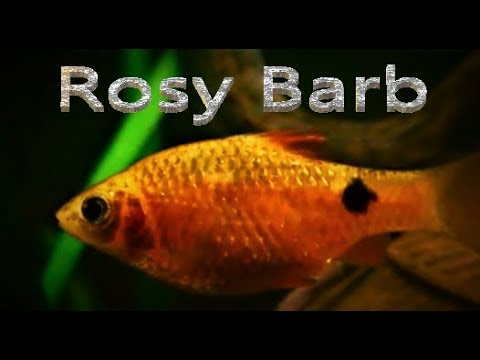 Rosy Barb Care & Tank Set Up Guide