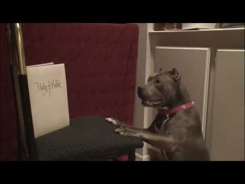 SIN THE SMARTEST PIT BULL