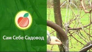 Формирование кроны груши(, 2013-11-19T11:23:48.000Z)