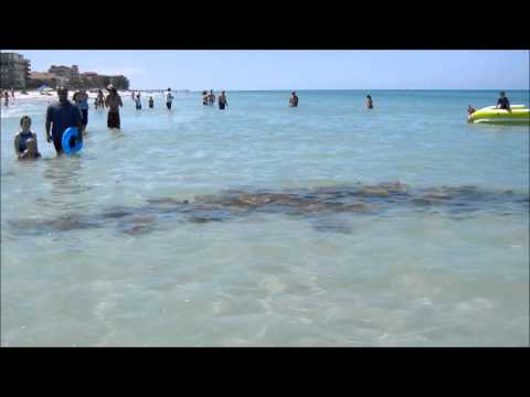 Walking with Stingrays Indian Shores, FL.wmv