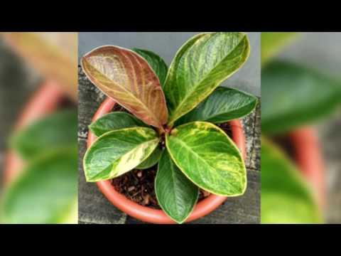 The Beautyful of 'Indonesian Variegated Anthurium Jenmanii'