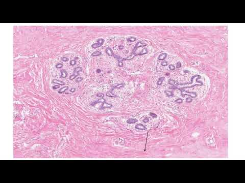 Histology of the Breast