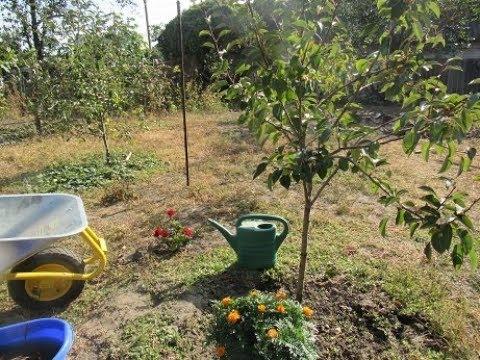 Вопрос: Когда лучше сажать яблоню – осенью или весной?