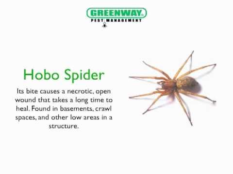 Spiders In Utah The Commom Poisonous Spiders In Utah