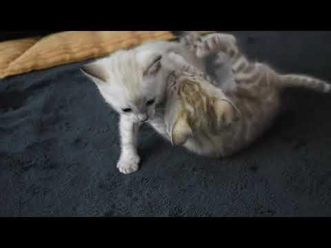 Bengal cats - Bambibengals cattery- snow bengals