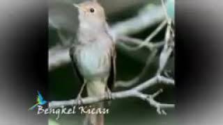 Master Sikatan londo ganas dan rapat terbaik untuk burung kicau mania takyun story