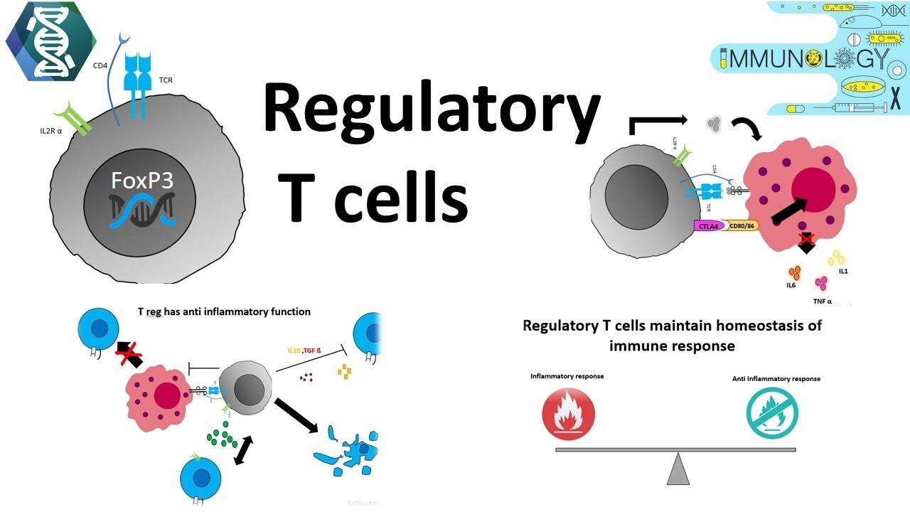 regulatory t cells youtube