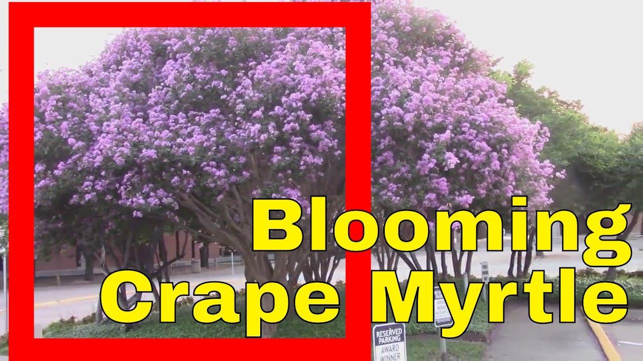 Crape myrtle tree in full bloom information pink flowers plant asian crape myrtle tree in full bloom information pink flowers plant asian jasmine nature garden landscape izmirmasajfo