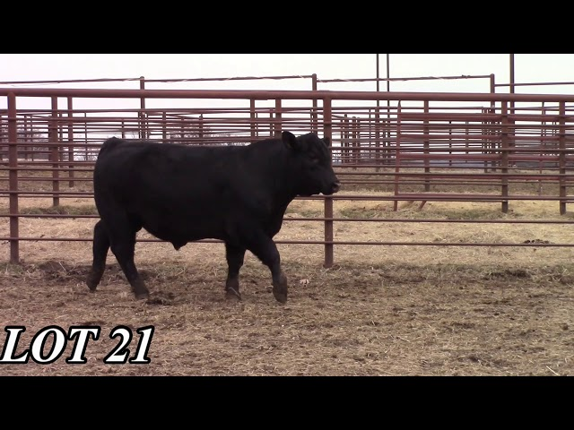Mead Angus Farms Lot 21