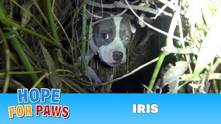 Finding Iris: Saving a homeless injured dog + an unexpected surprise!!!  Please share. thumbnail