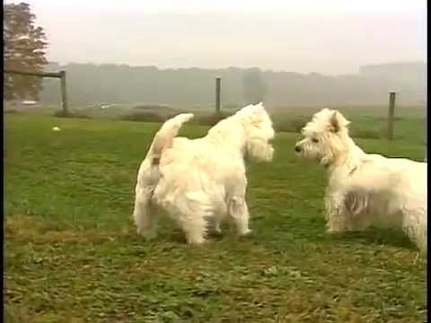 West Highland White Terrier - AKC Dog Breed Series