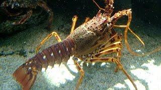 Video Udang Lobster dan Hepo Yang Segar Sebelum Disajikan