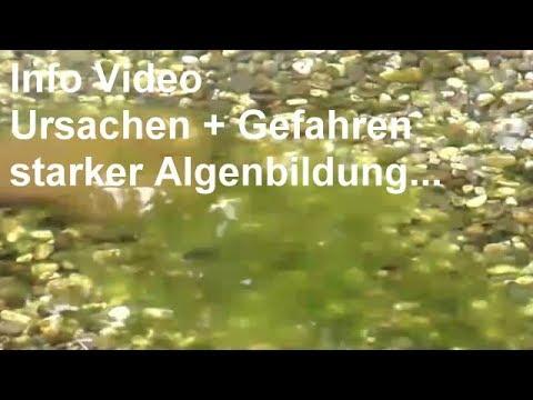 Habe zuviele algen helft mir by aquarium liebhaber for Algenfresser fischteich