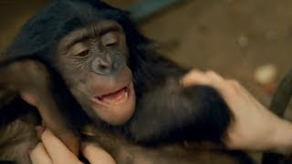 CUTE! Ticklish Bonobo Can't Stop Laughing | Earth Unplugged