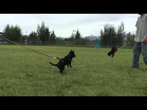 Drive Building with an 8 week old German Shepherd Dog Puppy with Flirt Pole