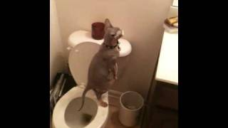 whiskey the hairless cat takes a stand up poop in the toilet