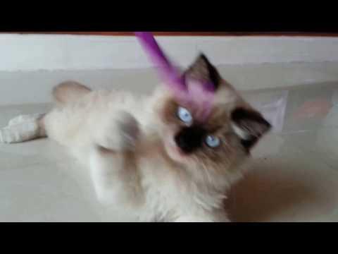 Cute Playful Himalayan Cat