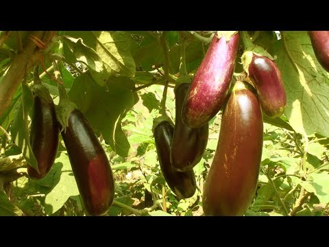 Growing Eggplant - How To Start Brinjal Farming Commercially