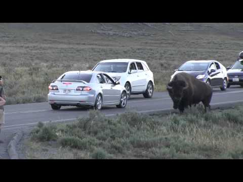 Beware of Bison at Yellowstone - Roadtreking  - A Journalist Discovers RVing