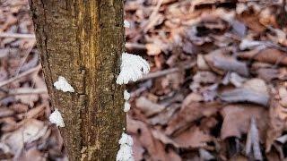 """죽은 나무에 치마처럼 자라는 버섯??  """" 치마버섯 """" Schizophyllum commune (우리 산야의 약용버섯 Medicinal mushroom)"""