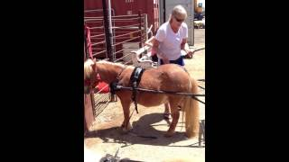 How To Hook Up A Mini Horse