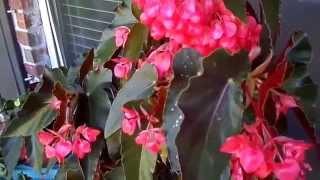 Коралловая бегония(Многолетнее тенелюбивое растение - коралловая бегония., 2014-05-16T02:43:48.000Z)