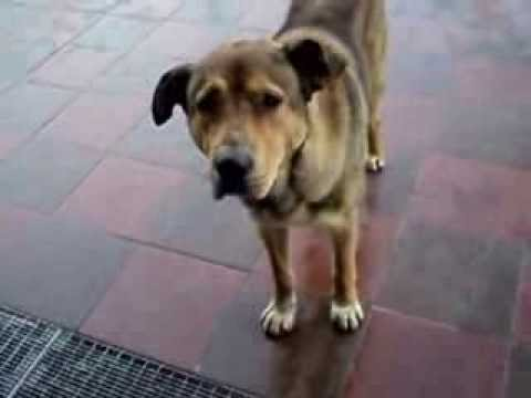 собака (Вологда)