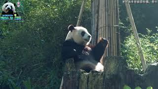 20180324 吃蘿蔔坐姿很有爺味的圓仔 The Giant Panda Yuan Zai thumbnail