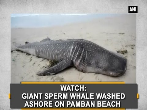 Watch: Giant sperm whale washed ashore on Pamban Beach  - Tamil Nadu News