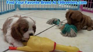 Cavaliers King Charles Spaniel Puppies For Sale 19breeders