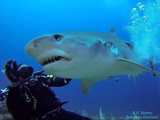 בלט עם כריש טיגריסי