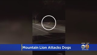 Mountain Lion Kills Dogs