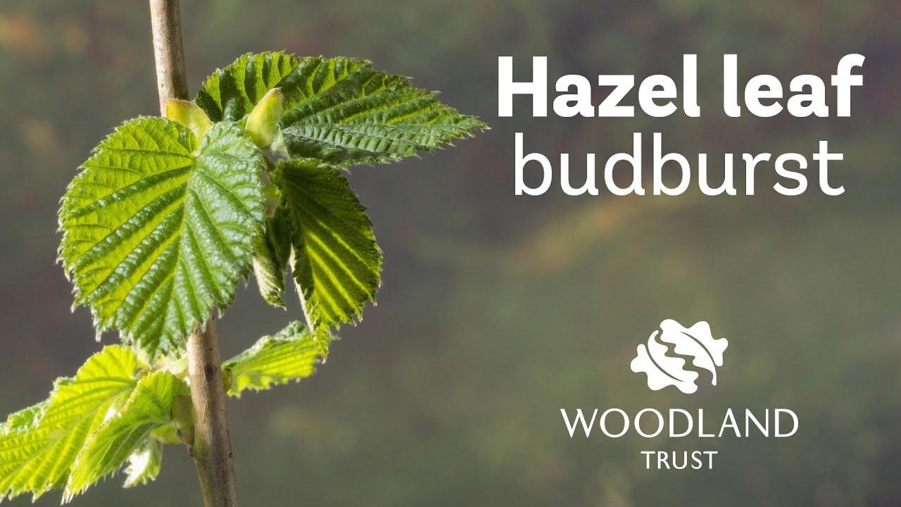 Hazel Corylus Avellana British Trees Woodland Trust