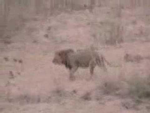 S. Africa Safari: Mountain Lion - Rare daylight sighting