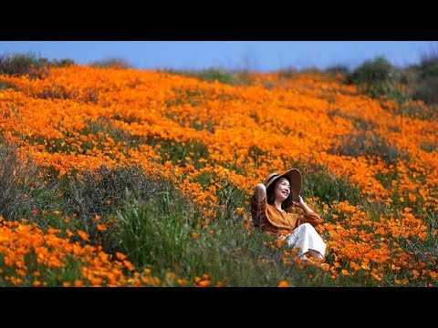 VIDEO : Heavy rains prompt super bloom of poppies in California