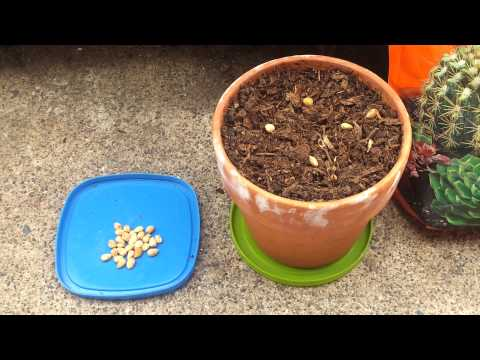 How to Grow a Cherry Tree from Seed (Part 1)