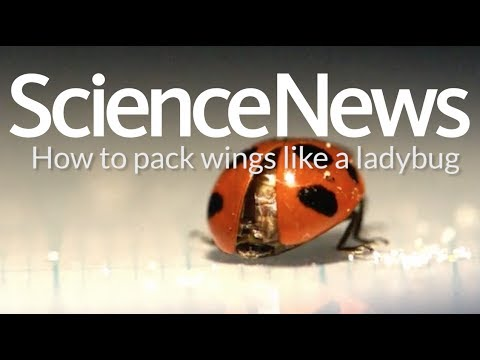 How to pack wings like a ladybug | Science News