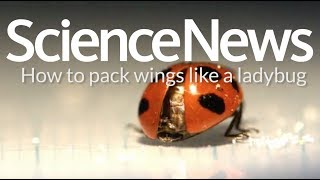 How to pack wings like a ladybug   Science News
