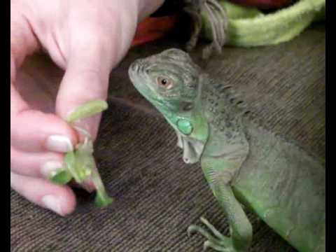 Taming My 6 Months Old Green Iguana Youtube