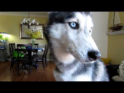Mishka says 'I love Moki, Hi Moki'! - Dog Talking