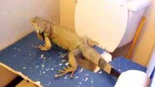 Iguana Toilet Trained