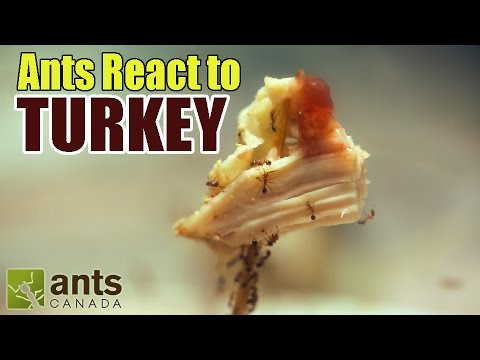 Fire Ants React To THANKSGIVING TURKEY + Stuffing + Cranberry Sauce (Time Lapse)