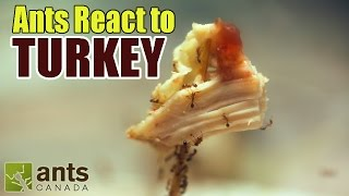Fire Ants React To THANKSGIVING TURKEY + Stuf...