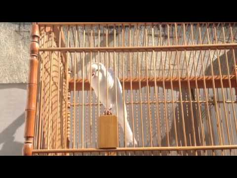 Yorkshire Canary Singing Blackstrout
