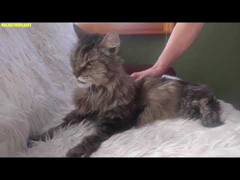 Maine Coon Cat Onlinetheplanet Animals Videos Compilation 2019