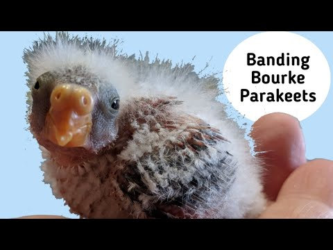 How I Put Leg Bands on my Baby Rosey Bourke Parakeets | Roxy and